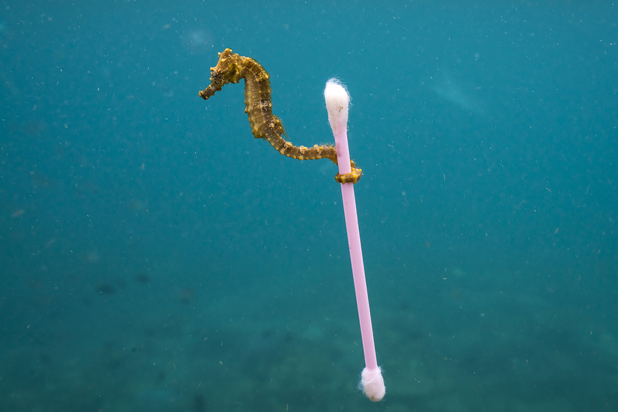 Image result for floating cottonbud and seahorse